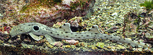 Epaulette shark - Epaulette sharks are named for the prominent black spot behind their pectoral fins.