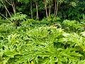 Heracleum mantegazzianum 106522593.jpg