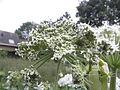 Heracleum mantegazzianum R.H. 05.jpg