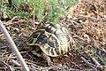 Hermann's tortoise - Testudo hermanni hermanni - panoramio.jpg