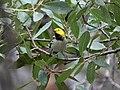 Hermit Warbler (male) Huachuca Canyon Sierra Vista AZ 2018-08-26 11-02-18 (48038433203).jpg
