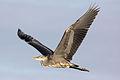 Heron - Stanborough Lakes August 2009 (3846672944).jpg