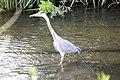 Heron - Stanborough Lakes May 2009 (3581835339).jpg