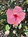 Hibiscus Flower in Jardín Japonés Antofagasta.jpg