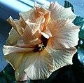 Hibiscus creme.JPG