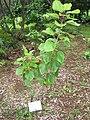 Hibiscus waimeae in Lyon Arboretum.jpg