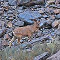 Himalayan ibex.jpg