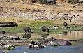 Hippo, Ruaha National Park (21) (28123184194).jpg