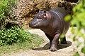 Hippopotamus Young.jpg