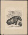 Hippopotamus amphibius - 1700-1880 - Print - Iconographia Zoologica - Special Collections University of Amsterdam - UBA01 IZ21900066.tif