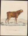 Hircus aegagrus - 1700-1880 - Print - Iconographia Zoologica - Special Collections University of Amsterdam - UBA01 IZ21300245.tif