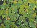 Hojas en el lago del Jardín Botánico de Mérida.JPG