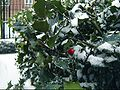 Holly in Winter.jpg
