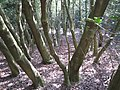 Holly thicket, Holly Hurst, Sutton Park - geograph.org.uk - 1859863.jpg