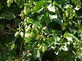 Hops (4223667447).jpg