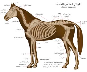 تشريح الهيكل العظمي للحصان