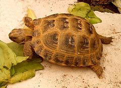Vierteenlandschildpad aan de maaltijd.