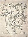 Hortus Eystettensis, 1640 (BHL 45339 041) - Classis Verna 30.jpg