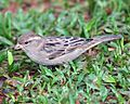House sparrow female IG - Lip Kee.jpg