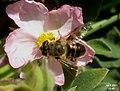 Hoverfly (FG) (5729255936).jpg