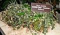 Hoya caudata - United States Botanic Garden - DSC09587.JPG