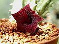 Huernia pendurata-Hybrid flower 06.jpg
