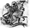 Hulman semnopithecus-entellus.png