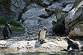 Humboldt penguins in Tiergarten Schoenbrunn 1.JPG
