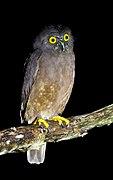 Hume's Hawk-Owl.jpg