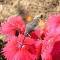 Hummingbird hawkmoth a.jpg