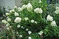 Hydrangea paniculata 'Limelight'.JPG