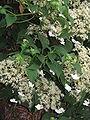 Hydrangea petiolaris02.jpg