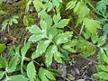 Hydrophyllum virginianum 2017-04-17 7894.jpg