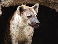 Hyena Spots 2856 (3582543893).jpg