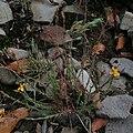 Hypericum thesiifolium.jpg