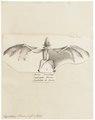 Hypoderma peronii - 1700-1880 - Print - Iconographia Zoologica - Special Collections University of Amsterdam - UBA01 IZ20700053.tif