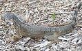 Iguana iguana 10zz.jpg