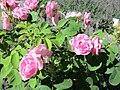 Ile aux Roses 008.jpg