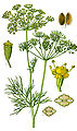Illustration Anethum graveolens clean.jpg