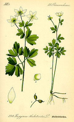 Meadow rue mussels (Isopyrum thalictroides), illustration