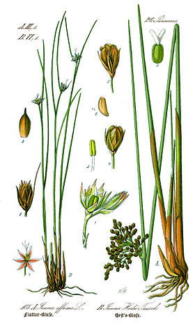 Illustration Juncus hostii0.jpg