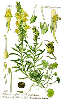 Illustration Linaria vulgaris0 clean.jpg