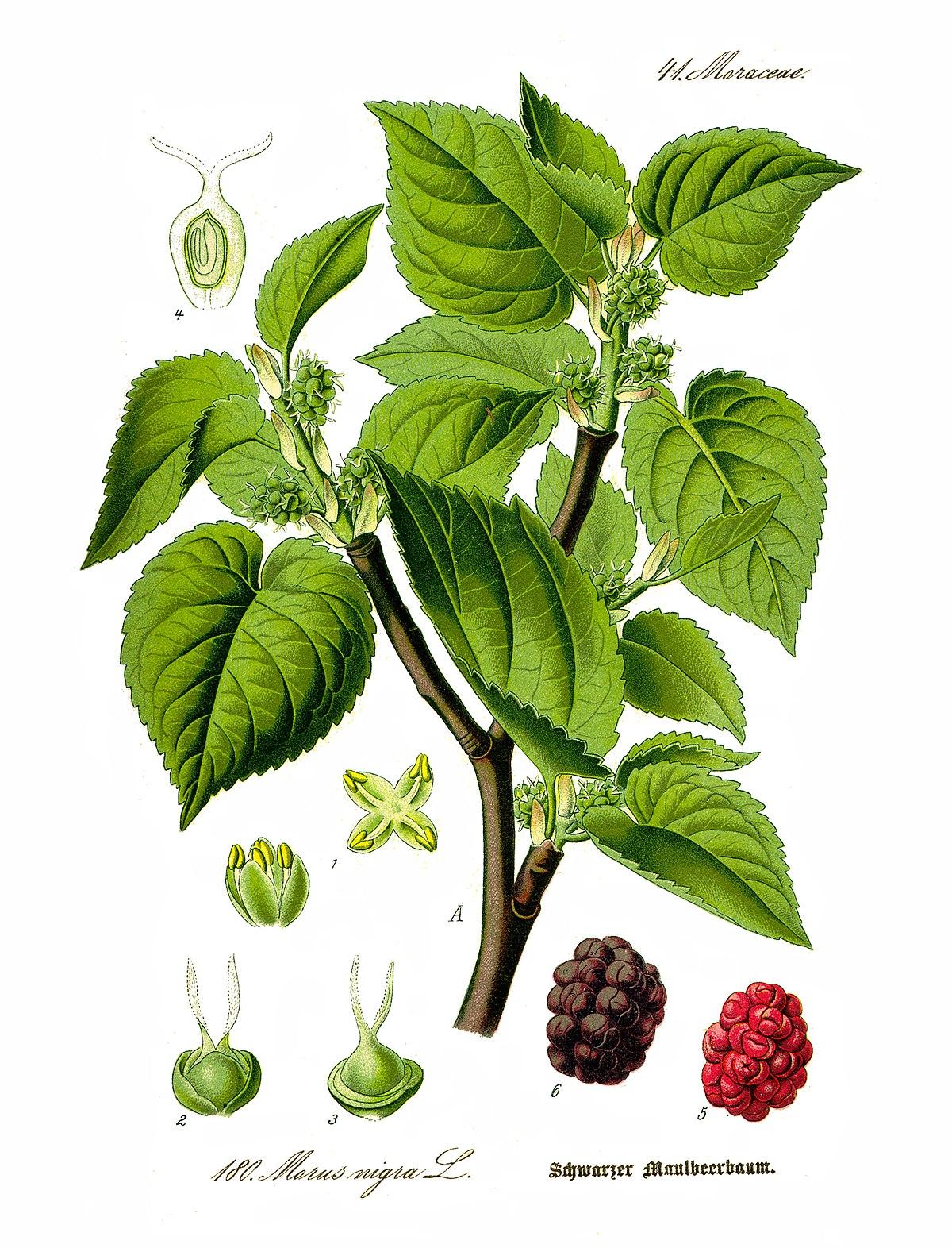 Maulbeeren – Wikipedia