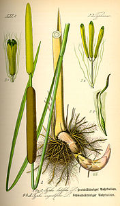 Illustration Typha latifolia0.jpg