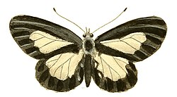 Illustrations of Exotic Entomology Acraea Ethosea.jpg