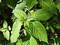 Impatiens parviflora Paludi 02.jpg