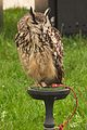 Indian Eagle Owl, Cheshire Game and Country Fair 2014 1.jpg