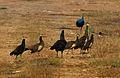 Indian Peafowl (Pavo cristatus) near Hyderabad W IMG 4818.jpg