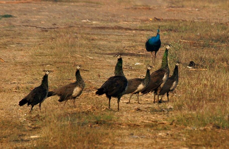 Indian Peafowl (Pavo cristatus) near Hyderabad W IMG 4818