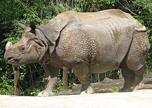 300px Indian Rhino Image Indian Rhino   getting battered